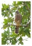 10-Eurasian Sparrowhawk